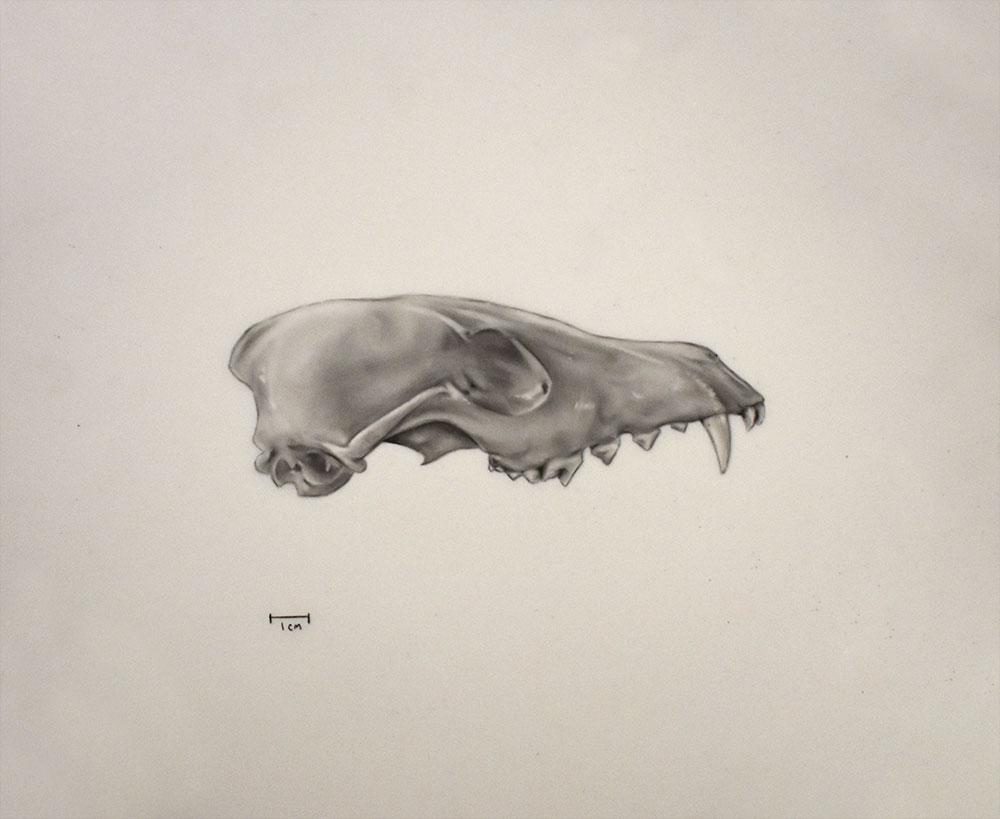 fox-skull